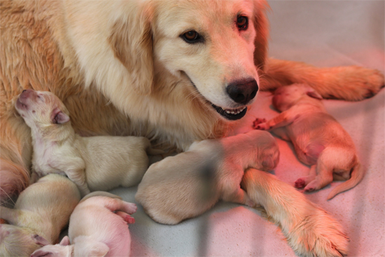 Golden Retriever Breeders In Ma LazyDaze Farm - Golden