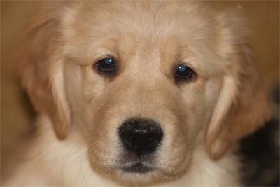 Golden Retriever Breeders In Ma Golden Retriever Puppies -